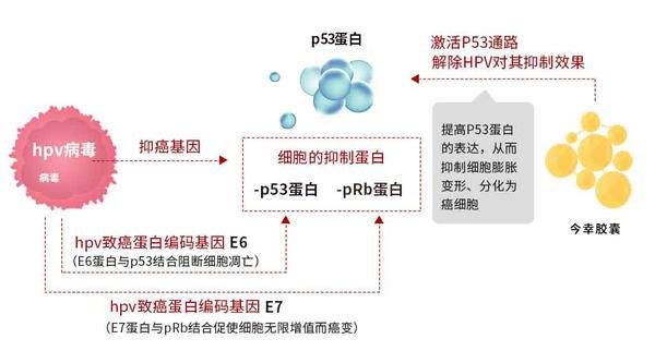 HPV病毒会抑制细胞内P53(抑癌基因)蛋白的表达(1).jpg